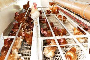 Artgerechte Hühnerhaltung auf der Weide im Siegerland